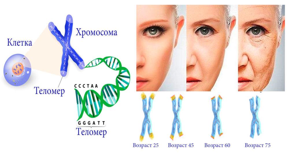Теломеры и теломераза